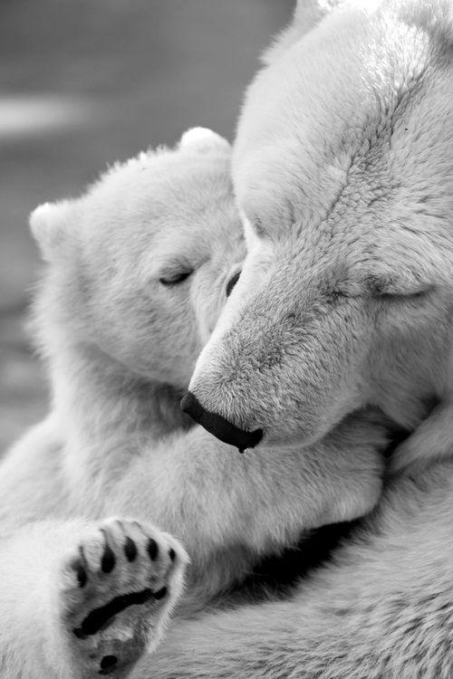 Wildlife engracado, Polar Bear Love