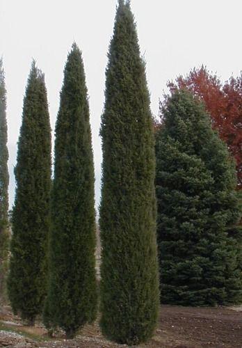Taylor Juniper Plant