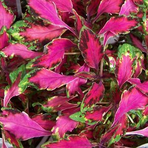 Buy Solenostemon Pink Chaos Annual Plants Online. Garden Crossings Online  Garden Center Offers A Large