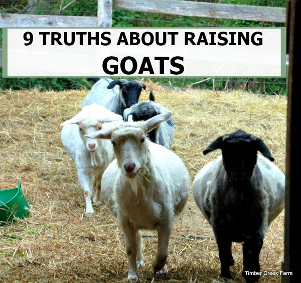 There is never a dull moment on the farm when you are raising goats. Read 9 truths about raising goats to learn fun and important facts on raising goats