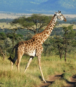 Giraffes are so cool. Did you know that their heart has a diameter of 0.6 meter and weights 11 kg?