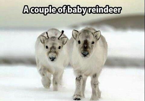 Baby reindeers....