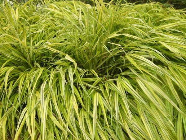 1000 ideas about perennial grasses on pinterest grasses for Shade decorative grass