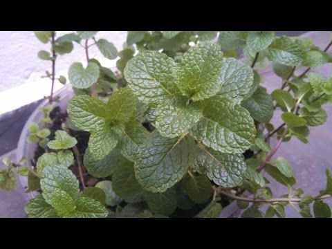 Como manter seu hortelã sempre bonito/How to keep your mint always beautiful - YouTube