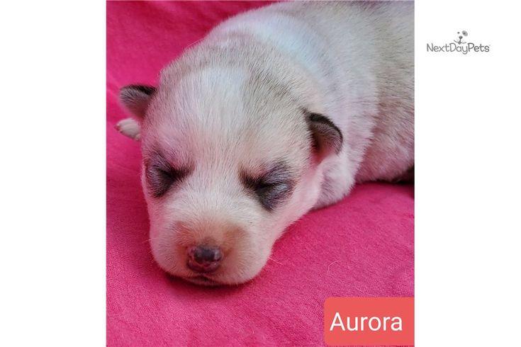 Aurora Girl Female Akita For Sale In 2020 Akita Puppies For Sale Puppy List Akita Puppies
