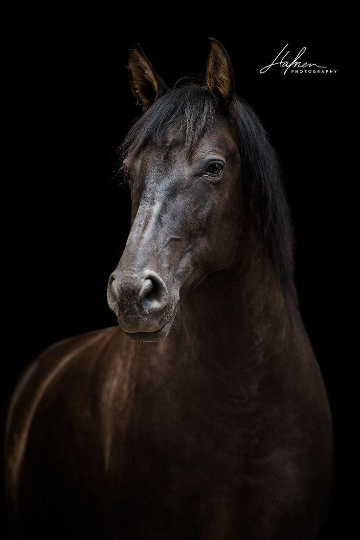 Andalusier Stute im Portrait vor schwarzem Hintergrund | Pferd | Bilder | Foto | Fotografie | Fotoshooting | Pferdefotografie | Pferdefotograf | Ideen…