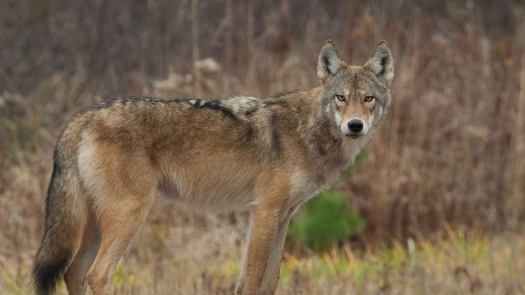 Eastern wolves, often considered to be a hybrid of gray wolves and coyotes, are a separate species according to genomic research recently published.