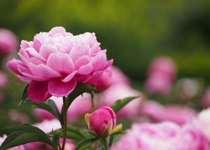 Пион - очень красивое декоративное растение, которое используют в медицине, косметологии и кулинарии.