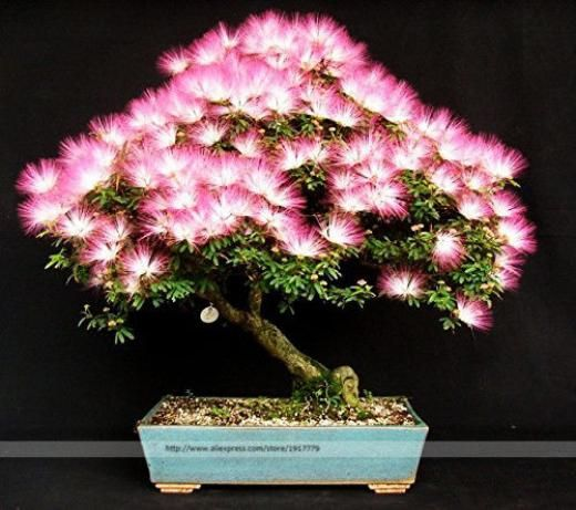 Bonsai-tree-albizia-julibrissin-seeds-rare-flowers-seed-in-bonsai-pink-tree Home Flowering Cold Dry Sub-tropical Temperate Tropical Full Sun Partial Shade Shade Medium Sri Lanka