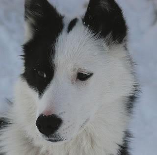 border collie+husky mix<3<3<3