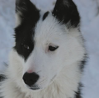 border collie+husky mix