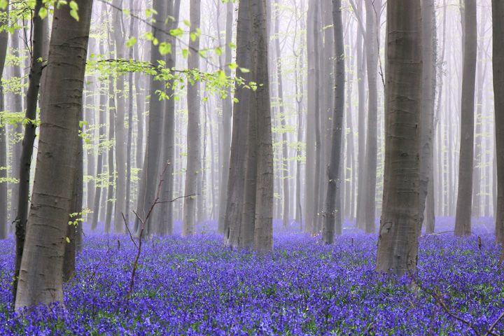 ハレルボスの森(hallerbos)