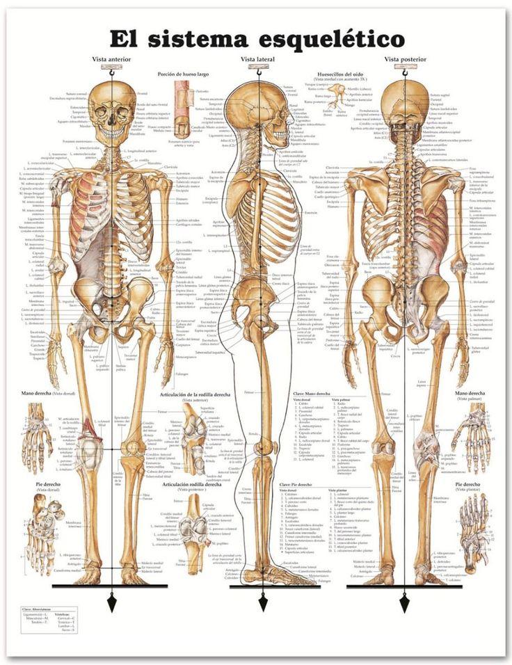 Hermosa Vista Lateral Esqueleto Humano Ilustración - Anatomía de Las ...