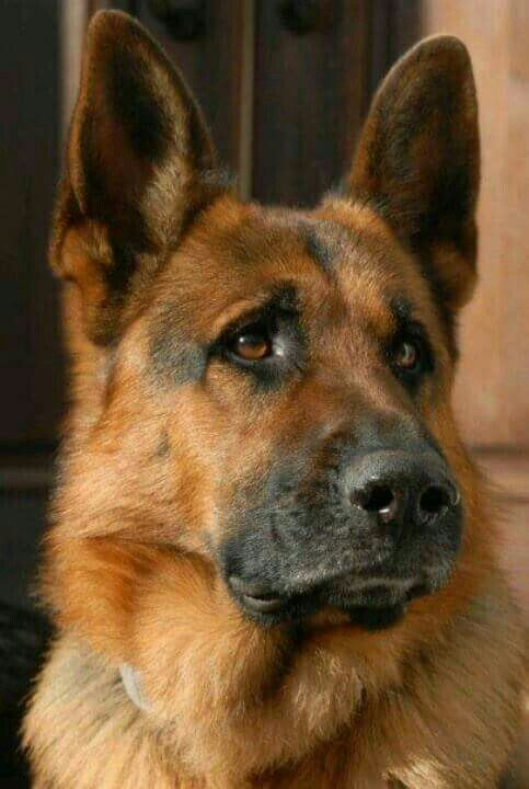Pin By Mrs J On German Shepherds With Images Dogs German