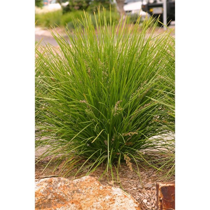 Find 130mm Lomandra Longifolia Lime Tuff at Bunnings Warehouse. Visit your local store for the widest range of garden products.