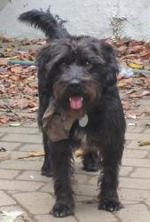 Tripp is an adoptable Cocker Spaniel Dog in North Wales, PA. Hi there! My name is Tripp and I am a male cocker spaniel / poodle / mini schnauzer mix approximately 2-4 years old and about 19 pounds. I ...