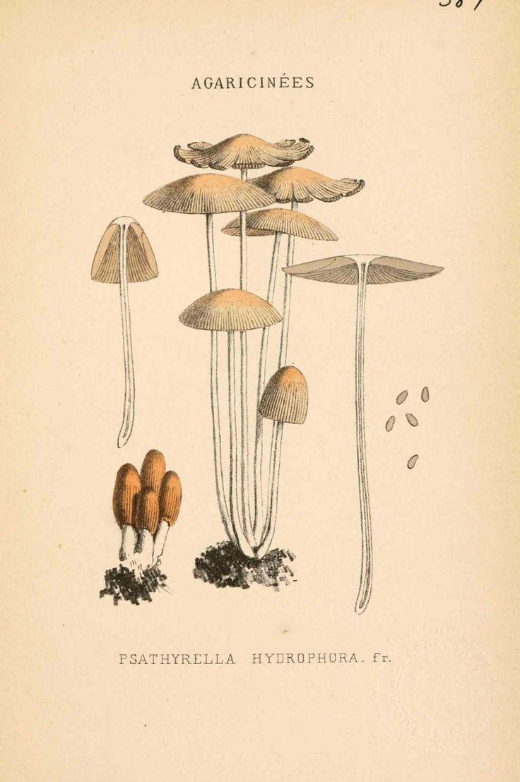 Imgdessins gravures champignonspsathyrella hydrophora jpg