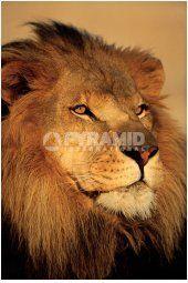 Lion (Close-Up)