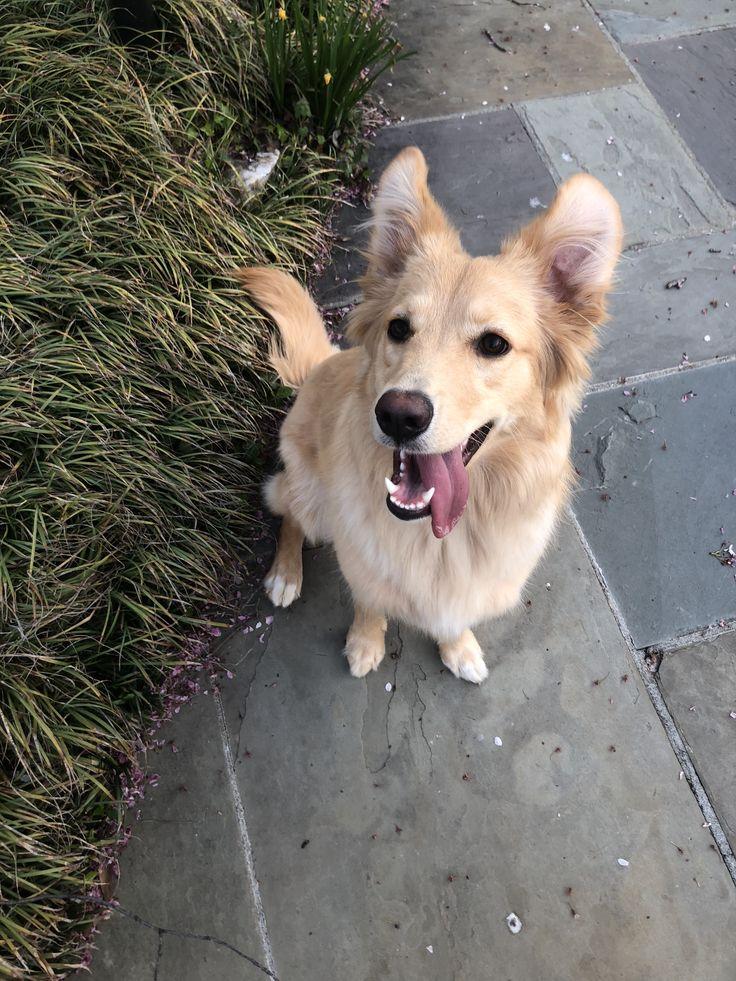 Golden retriever German shepherd rescue puppy dog Golden