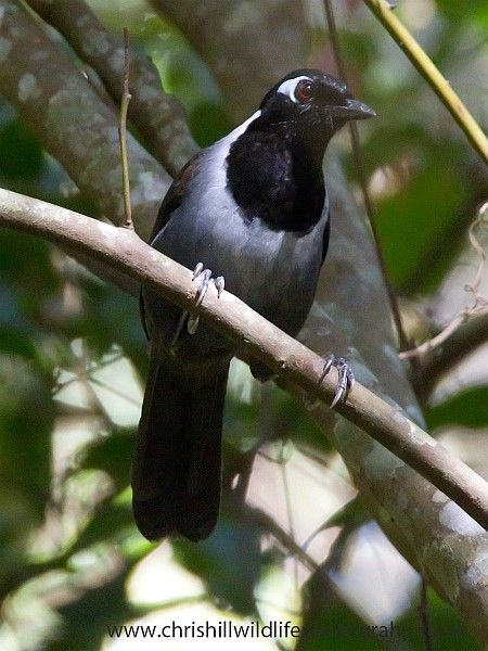 Black-hooded Laughingthrush