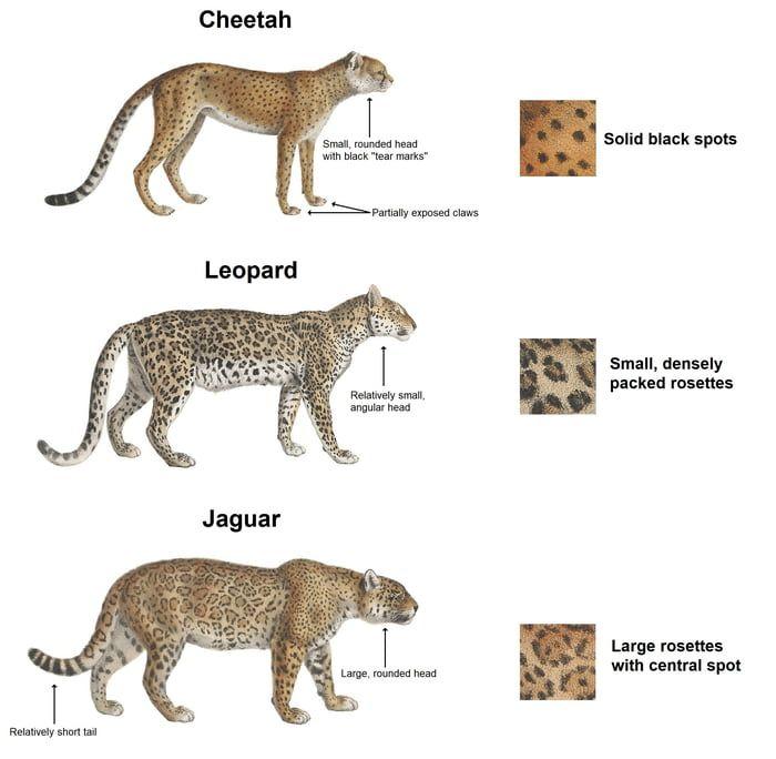16++ Leopard vstiger information