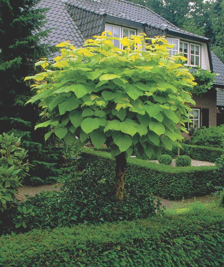 indian bean tree Google Search Tropical garden plants