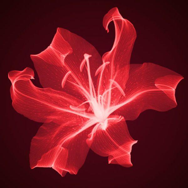 Lirio Rojo - Rayos X