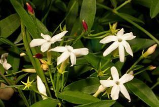 Jasminum suavissimum  : Native Jasmine. | Atlas of Living Australia