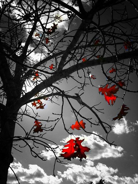 ..with a pop of red !: Colorsplash, Autumn Leaves, Red Leaves, Beautiful, Colour Splash, Art, Black White, Colors Splash, Photography