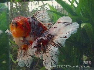 �鱼_供应金鱼观赏鱼狮子头流金金鱼 Pecesdeacuario,Especiesdepeces