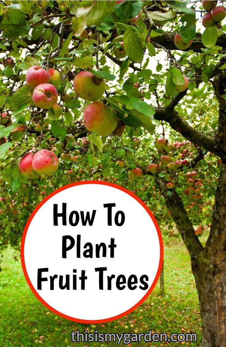 Wie Zu Pflanzen Obstbaume In Ihrem Eigenen Hinterhof Tree Planting Fruittree Arbor Fall Fruit Trees Trees To Plant Fruit Trees Backyard