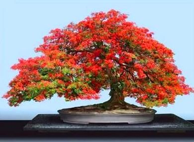 Japanese Flowering Quince Bonsai Tree