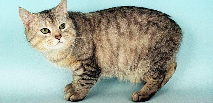 Raza de gatos Manx