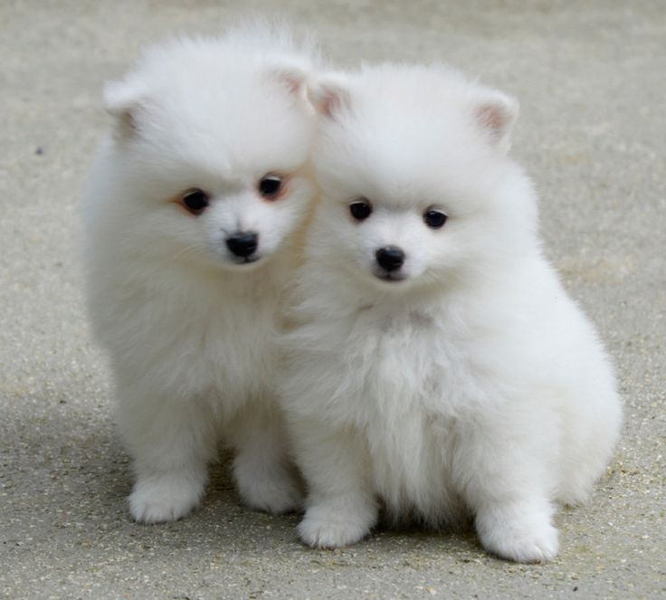 94 best for the love of puppies of the curled dog breeds for Volpino italiano
