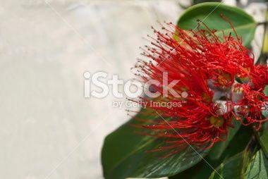 Pohutakawa Flower with Copyspace Royalty Free Stock Photo