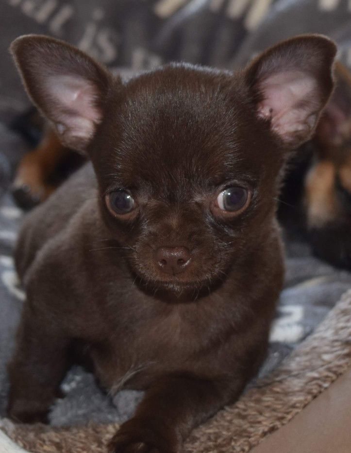 Not A Fan Of Little Dogs But This Guy Is A Cutie Babyhunde Chihuahua Welpen Und Susse Tiere