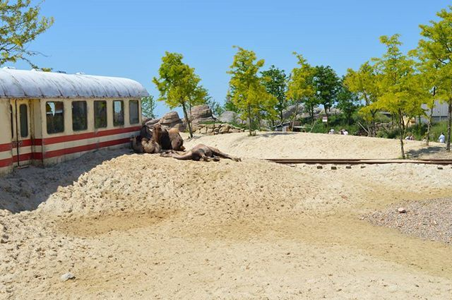Kamelen in de hete woestijn #Wildlands #Emmen #Zoo #animal #animals #photography #animalphotography #animallovers #camel #camels #kameel #kamelen #desert #savannah #safari #train #railway #derailed #trainwreck #coupe #rail #wildlandsemmen