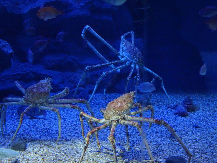 Osaka, Giant Crabs
