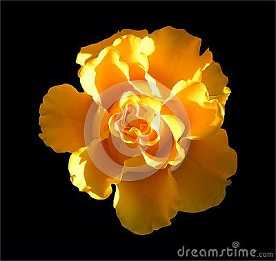 An isolated yellow flower on black background.