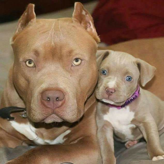 New To Puppy Training Consider This Advice Pitbull Terrier