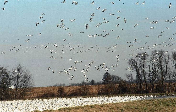 The snow geese are back! Photo by: Ron Landon. Photo of the Week: http://cbf.typepad.com/chesapeake_bay_foundation/2013/02/photo-of-the-week-were-back.html?pintix=1