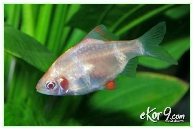 Ikan Sumatera Jantan Dan Betina Sama Sama Perenang Yang Aktif Dunia Fauna Hewan Binatang Tumbuhan Binatang Hewan Ikan