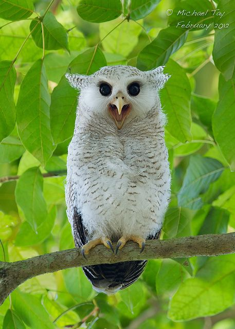 Barred Eagle Owl Juvenile by Michael Tay 5871, via Flickr