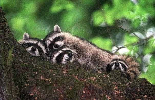 Procioni che dormono abbracciati #cute #sleep #animals
