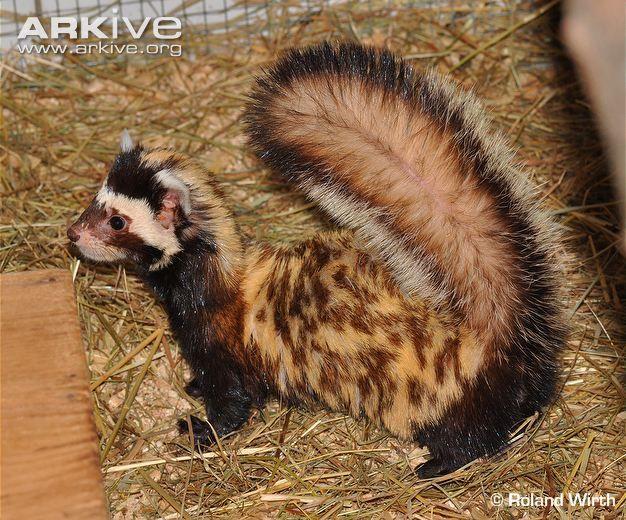 marbled polecat | European marbled polecat (Vormela peregusna)