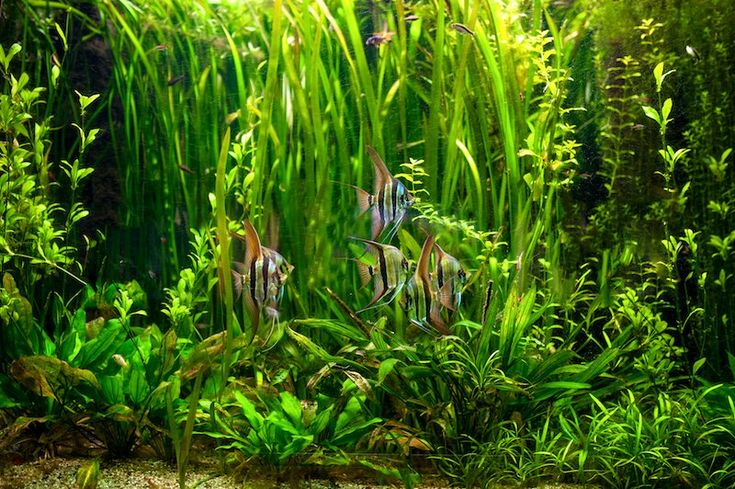 How To Get Rid Of Algae In A Fish Tank Fish Tank World Fish Tank Ecosystem Fish Tank Plants Fish Tank