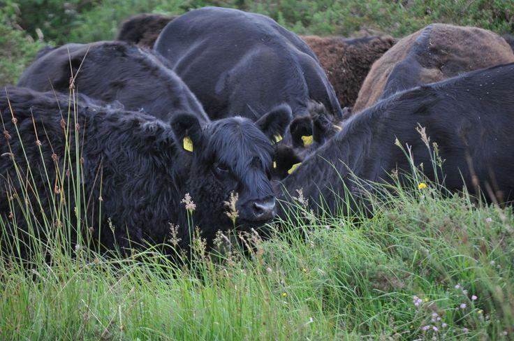 Gerds  Cows