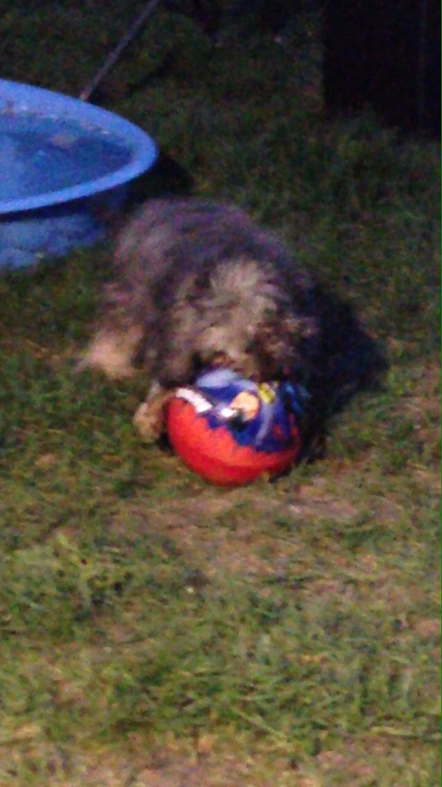 Molly with her favourite ball ❤️