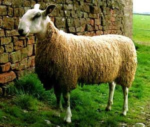 Blue Faced Leicester Sheep.One of my favorite sheep.  I love their wool.  Great for spinning.