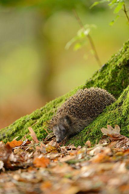 •♥• Животный мир •♥• Ежик (Hedgehog) •♥•